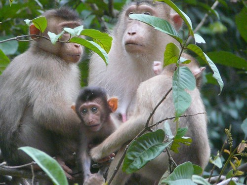 Macaque Monkey Family in forest