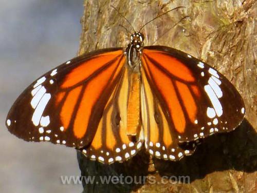 Bangkok Butterfly