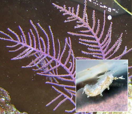 Gorgonian-Eating-Nudi