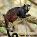 Primate Saguinus nigricolis_02_