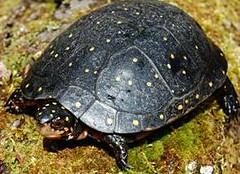 美國本土的星點龜(紐約市保育部提供,Mike Rubbo攝)
