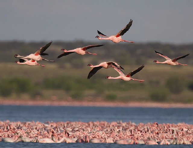 Lesser Flamingo  © Mark Anderson