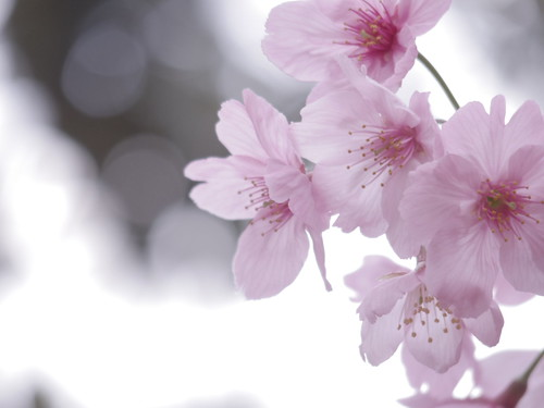 Sakura bloom in Tokyo 12
