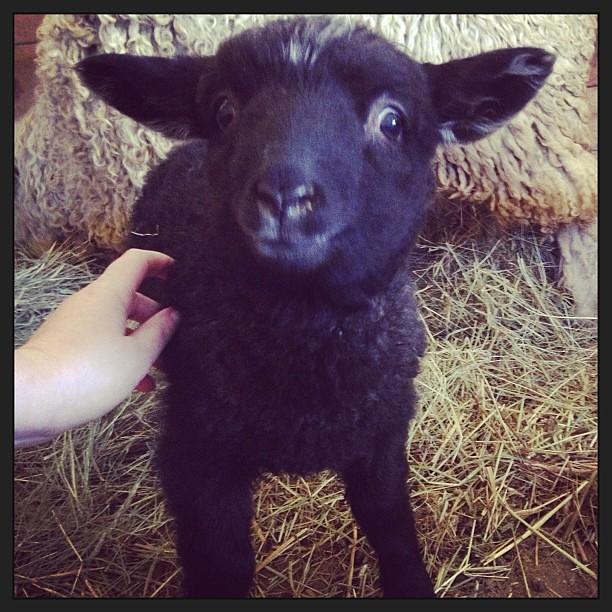 Max the lamb REALLY likes pets.