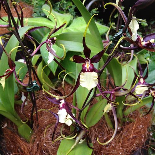 Singapore Orchid Garden 5