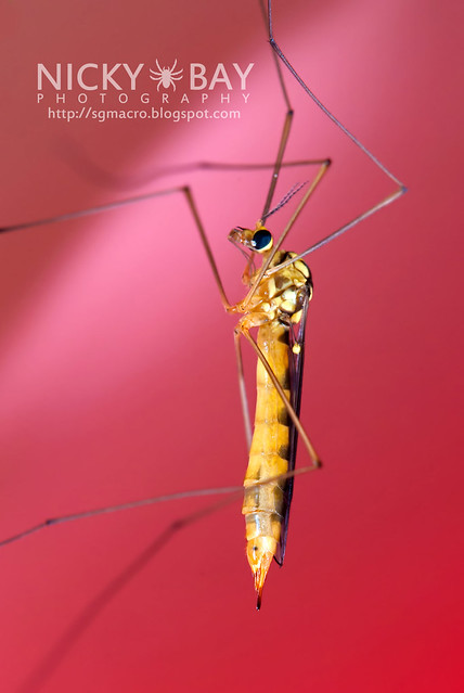 Crane Fly (Tipulidae) - DSC_5168