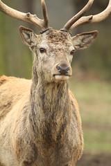Red Deer 15