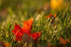 Fallen Red Leaf