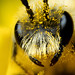 Miner bee portrait by GOLDENORFE