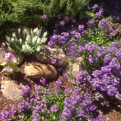 Fan flowers in the garden #flowers #alfordsgardens #garden #design #backyard #mediterraneangarden