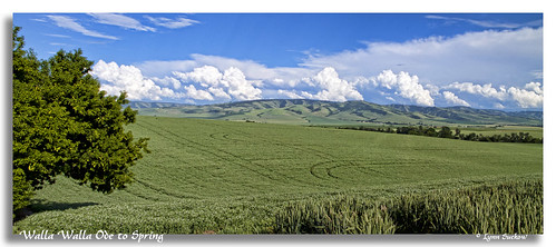 usa tree field clouds washington spring wheat farmland peas wa wallawalla bluemts topazadjust 02467ta
