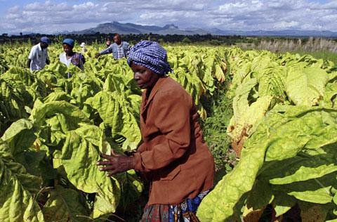 Zimbabwe farmer workers in Nyamzura in Odzi. The earnings on production increased in 2012. by Pan-African News Wire File Photos