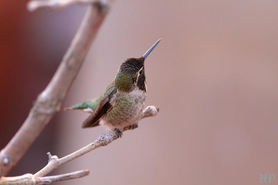 Anna's Hummingbird 011813-4
