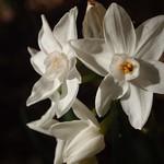 Paperwhites (Narcissus papyraceus) - 6