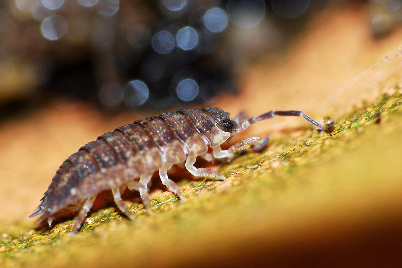 Woodlouse Bokeh 20120126