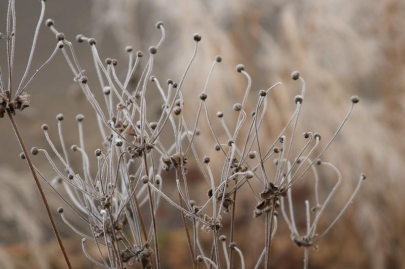 anemone  3095