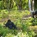 Gorillas in the Mist by Fivebball
