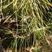 Garden Inventory: Black Pine (Pinus nigra) - 6