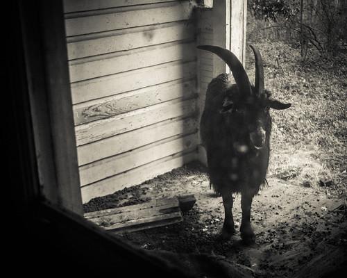 Wild Ram by kenfagerdotcom
