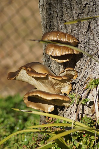 Weekly Photo 8/52 for 2013: Fungi by Kristen Koster on Flickr