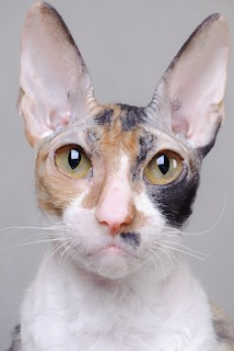 The Cornish Rex