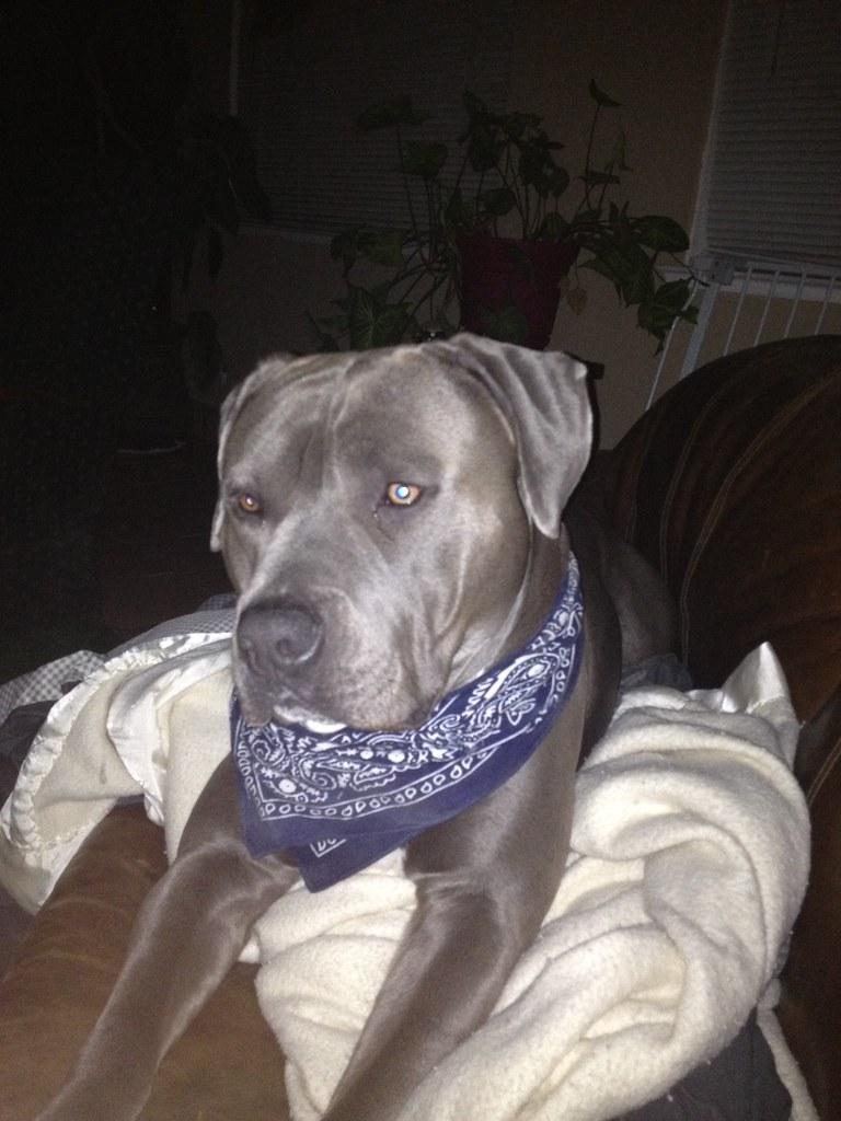 meet my pitbull bit
