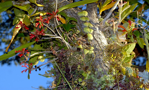 Dermatobotrys saundersii and Anthurium scandens Growing Epiphytically