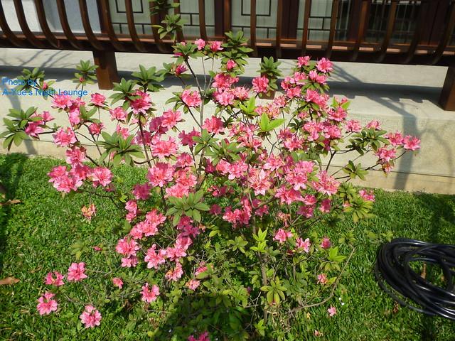 美麗的杜鵑花 2
