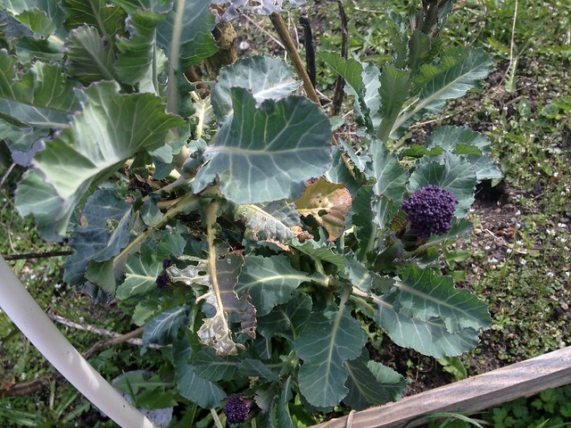 This purple broccoli is 2 years old. I neglected to pull it out last fall but it turns out to be good because it's got awesome side-shoot production. I'm going to save seed.