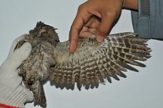 高雄鳥會在東沙島進行海管處委託辦理研究計畫繫放作業發現東方角鴞,在檢查確認無受傷情況後原地野放。(圖片來源:海洋國家公園管理處)