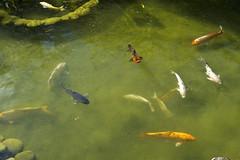carp(0.0), fish(1.0), fish pond(1.0), marine biology(1.0), koi(1.0), fauna(1.0), pond(1.0),