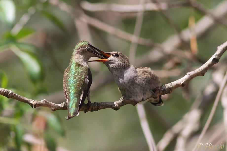 Anna's Hummingbird baby 032913