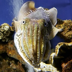 Who wants to cuttle? #cuttlefish #aquarium #ABQBiopark #fish #aquarium