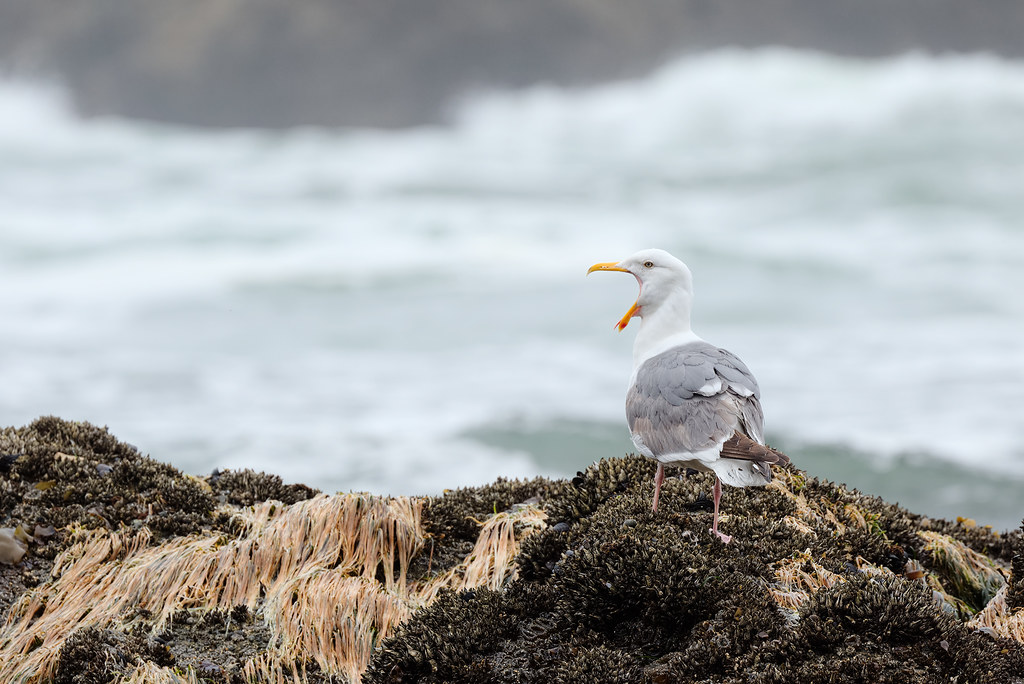 A seagull yawns while standing on a bed of goose barnacles as the tide comes in
