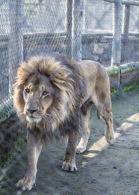 Scar in jail (Mufasa's homicide)
