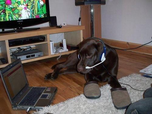 chocolate Labrador Retriever - Coco ( bredicot scamper )