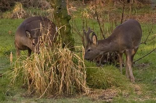 Roe Deer 3.1
