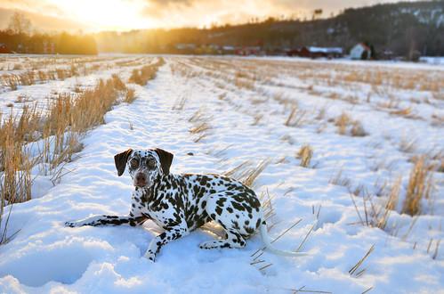 winter sunset field dalmatian
