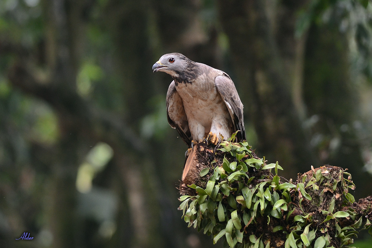 Honey_Buzzard_5580
