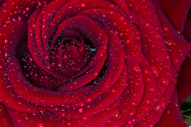 Red Rose Macro with Rain