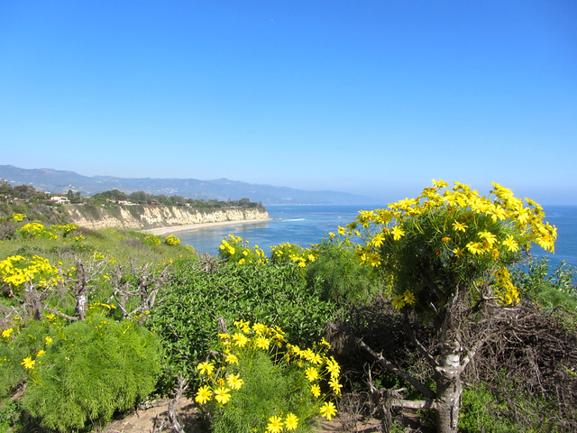 giant coreopsis on Point Dume