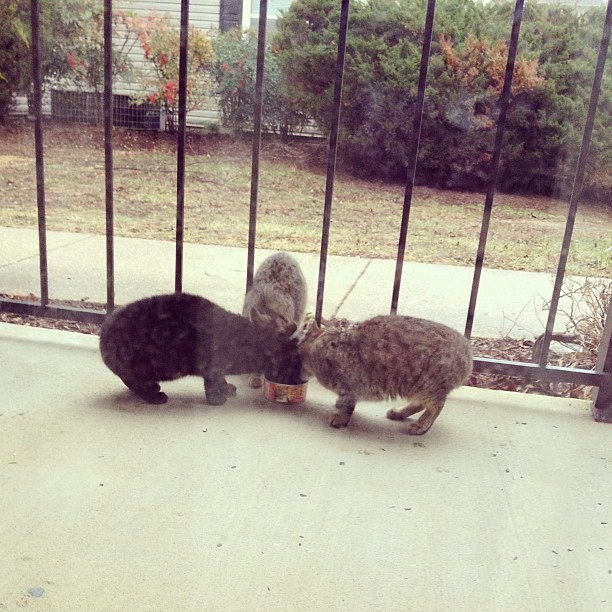 The stray neighborhood kittens deserve some yummy food, too! #cats #catsofinstagram