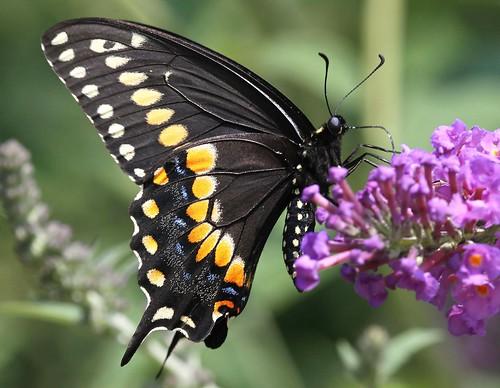 blue red orange butterfly northcarolina pupil swallowtail blackswallowtail richmondcounty papiliopolyxenes eyespot