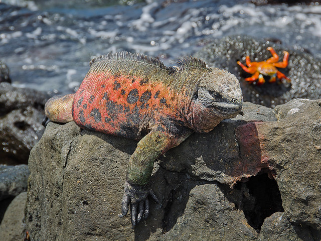 Galapagos Reptiles: Marine Iguanas different colors Floreana