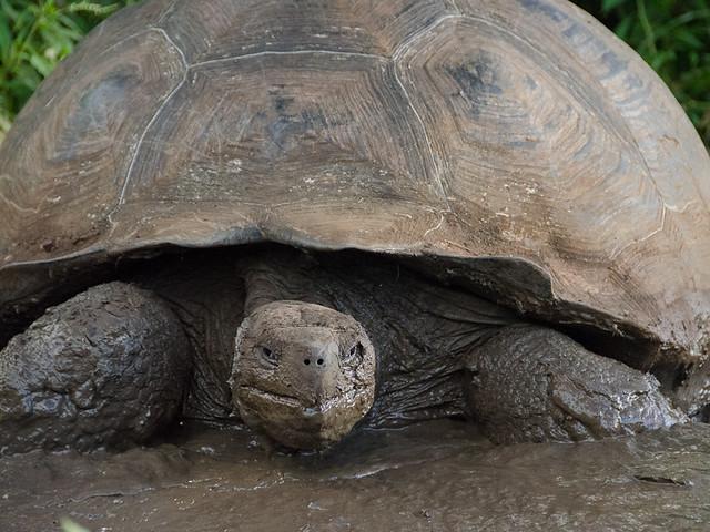Galapagos Reptiles: Giant Tortoise