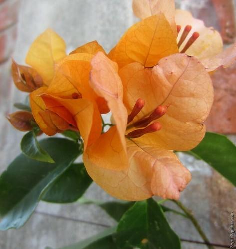 Flowers, Ajijic