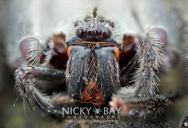 Huntsman Spider (Sparassidae) - DSC_7636