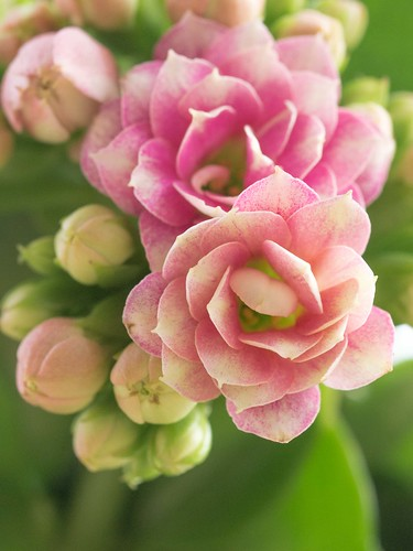 gefüllt blühende Kalanchoe blossfeldiana
