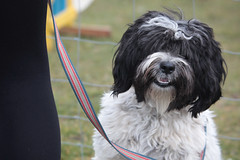 dog breed(1.0), animal(1.0), dog(1.0), pet(1.0), lã¶wchen(1.0), polish lowland sheepdog(1.0), tibetan terrier(1.0), mammal(1.0), havanese(1.0), old english sheepdog(1.0), bearded collie(1.0),