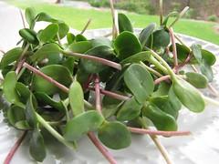 shrub(0.0), flower(0.0), plant(0.0), common purslane(0.0), produce(0.0), fruit(0.0), food(0.0), leaf(1.0), arctostaphylos uva-ursi(1.0), herb(1.0),